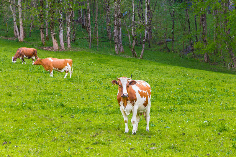 Summer landscape with cows grazing on fresh green mountain pastures. royalty free stock images