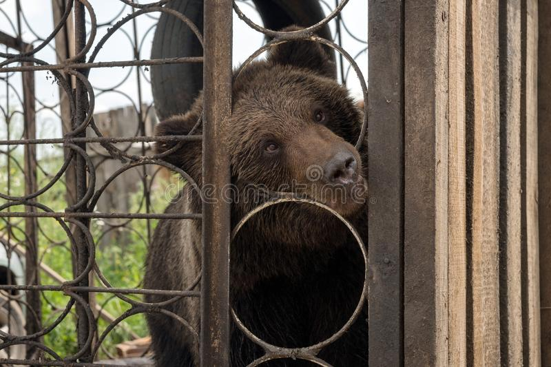 Curious Brown bear Ursus arctos looks out of the metal cages of the cage. Summer landscape. Curious Brown bear Ursus arctos looks out of the metal cages of the royalty free stock photography