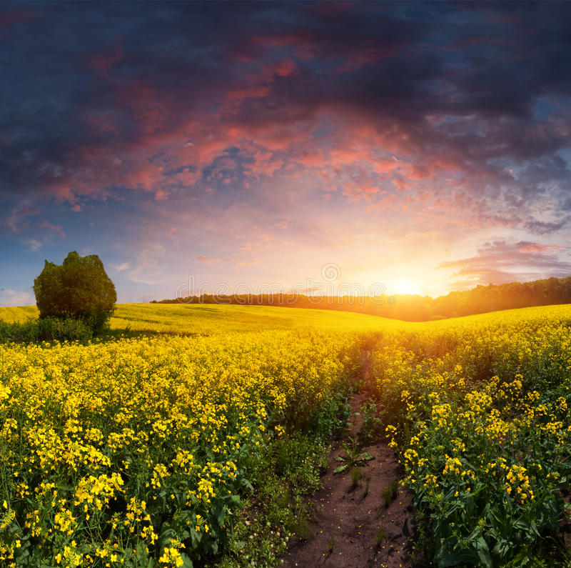 Summer Landscape with a field of yellow flowers. Sunset royalty free stock photo