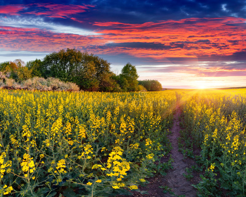 Summer landscape with a field of yellow flowers. Sunrise royalty free stock photo