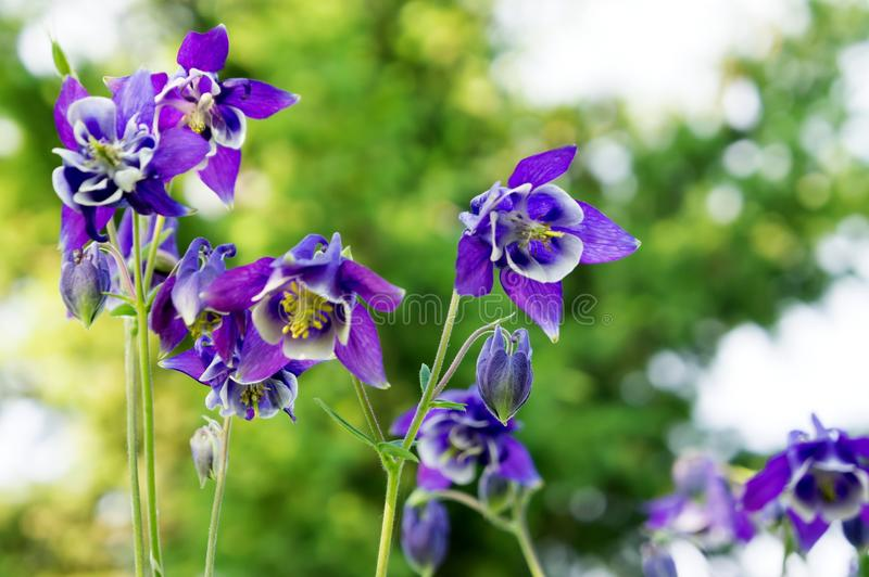 Flowers blue Aquilegia Aquilegia vulgaris on a bright green background. royalty free stock images