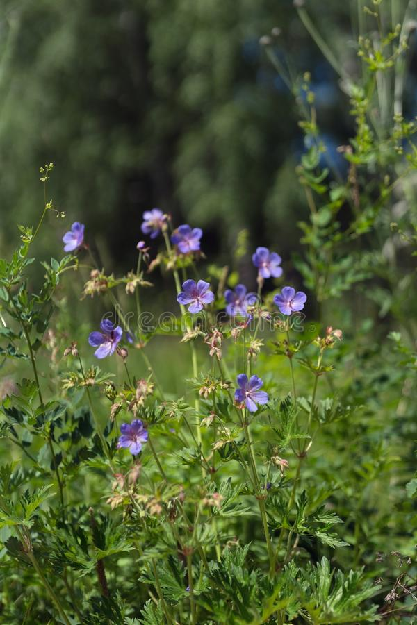 Flowers of meadow cranesbill {Geranium pratense} bloom on a green meadow in the forest royalty free stock photography