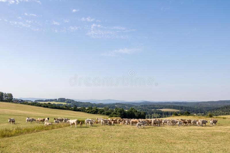 Summer landscape with herd of cows on summer pasture stock photo