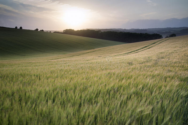 Summer landscape image of wheat field at sunset with beautiful l royalty free stock images