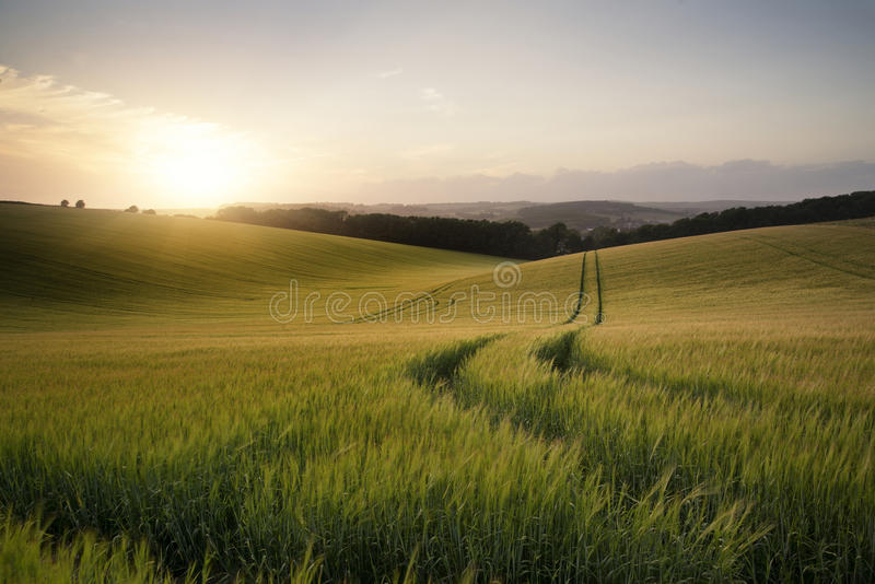 Summer landscape image of wheat field at sunset with beautiful l stock photo