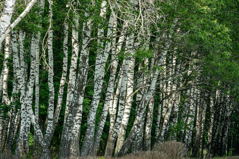 Summer landscape with lots of birches and sun rays. Natural birch forest in Russia. Joyful sunny day. Elegant background for any themes royalty free stock photo