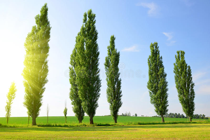 Summer landscape with poplars royalty free stock image