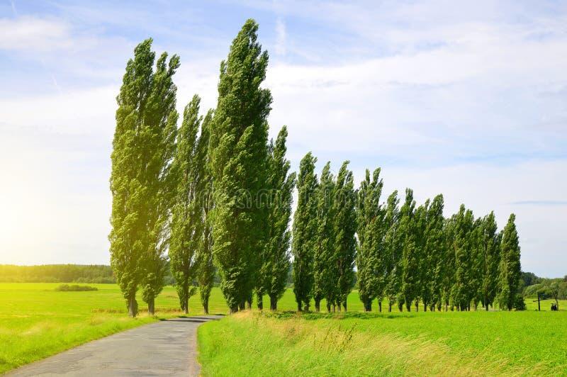 Summer landscape with poplars stock photos