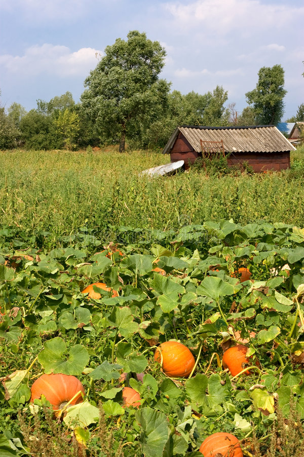 Summer landscape with pumpkin. Tambov, Russia royalty free stock photography