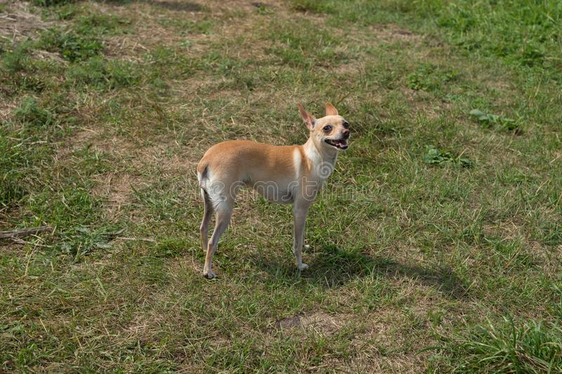 A small feeding red-and-white dog Chihuahua is standing in a green clearing in the summer. Summer landscape. A small feeding red-and-white dog Chihuahua is stock images
