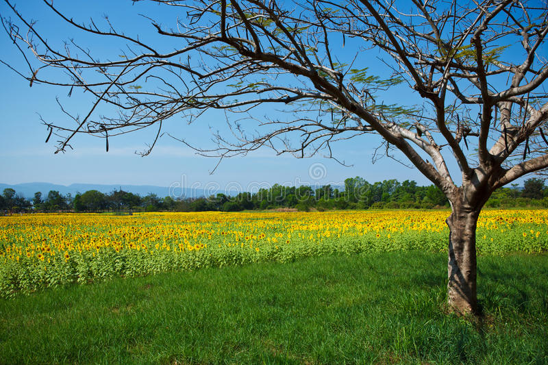 Download Summer Landscape: Tree In Sunflowers Field Stock Image - Image of cloudy, field: 25476573
