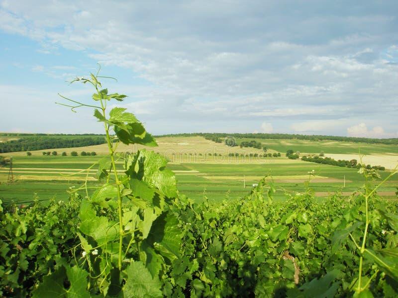Summer Landscape Vineyard Royalty Free Stock Photo