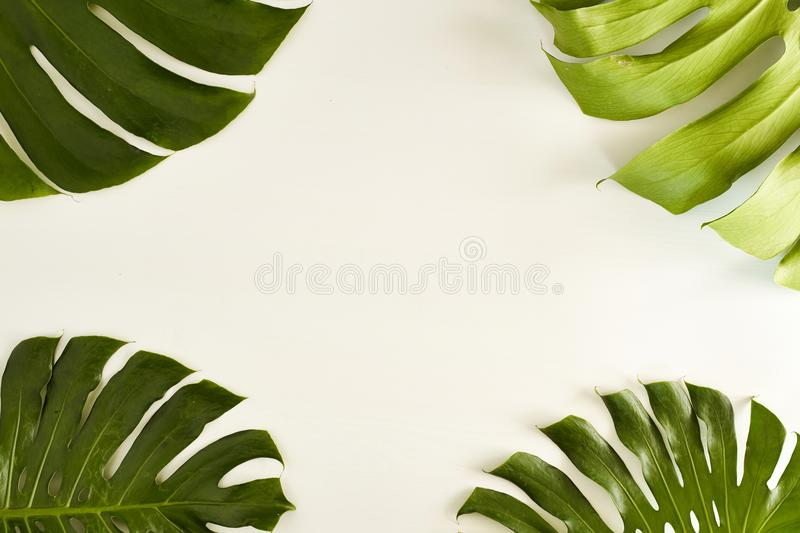 Summer Large green tropical monstera leaf royalty free stock photography
