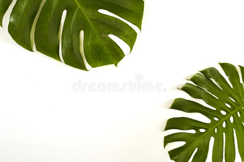 Summer Large green tropical monstera leaf royalty free stock photos