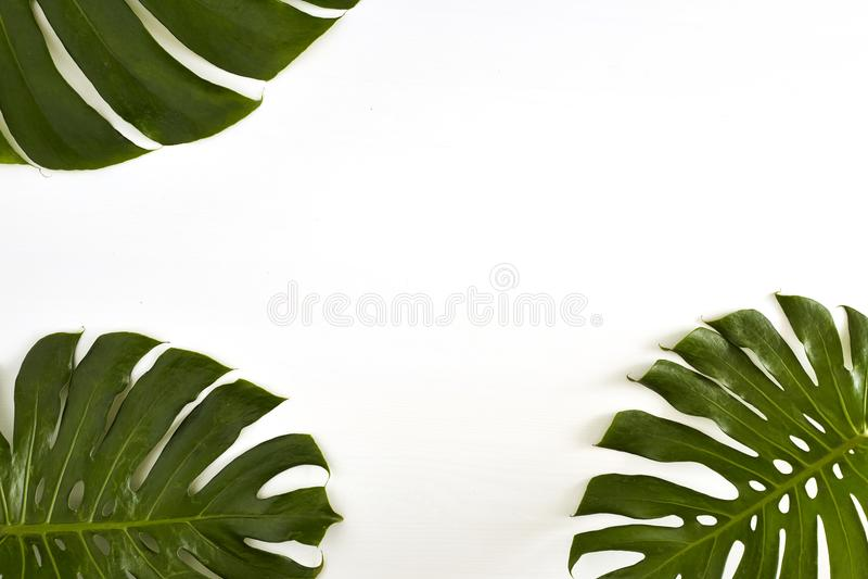 Summer Large green tropical monstera leaf stock image