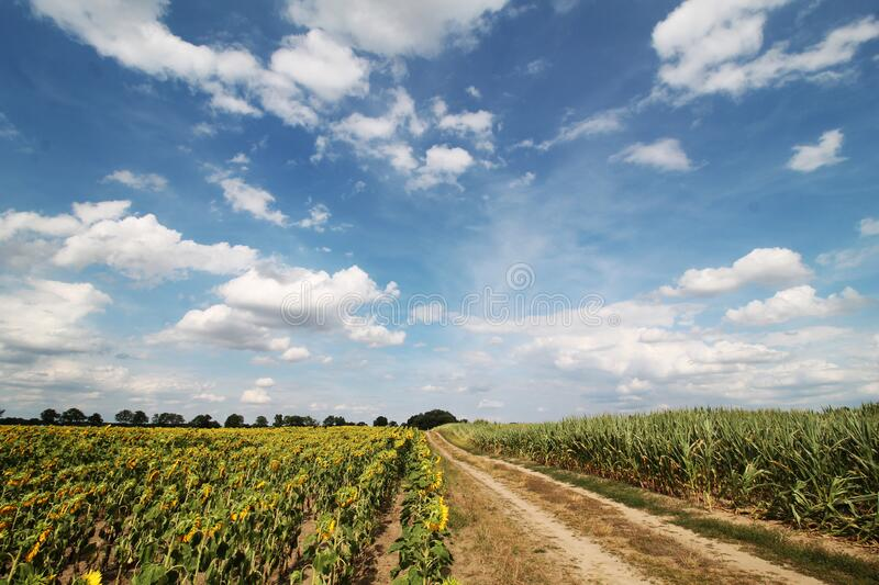 Summer large sunflowers and corn fields background stock photo