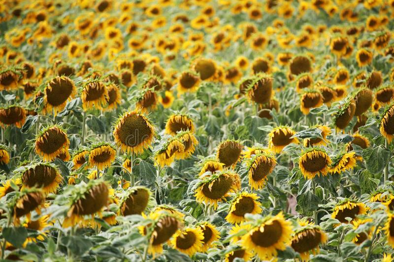 Summer large sunflowers field background stock images