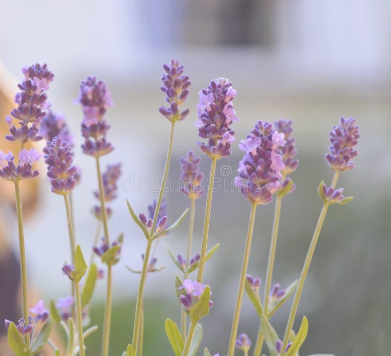Summer Lavender Flower. Fresh purple aromatic plant growing in summer garden stock photo