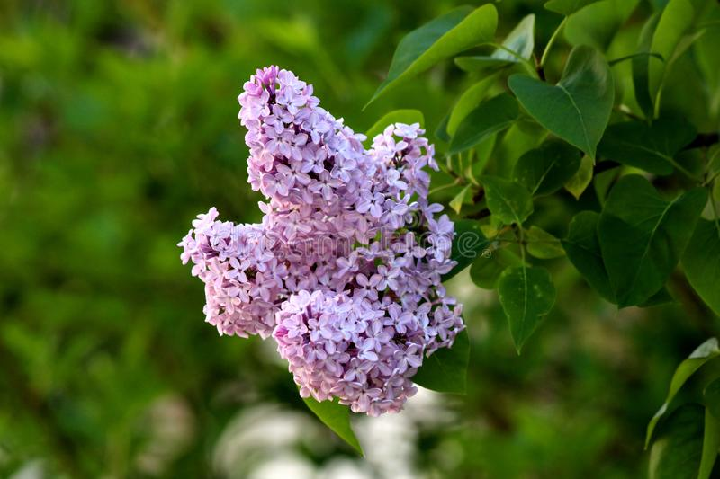 Summer lilac or Buddleia davidii flowering plant with violet fully open blooming flowers on multiple pyramidal spikes surrounded. Summer lilac or Buddleia stock image
