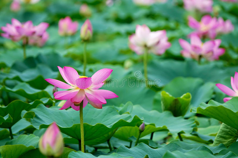 Summer lotus pond stock images