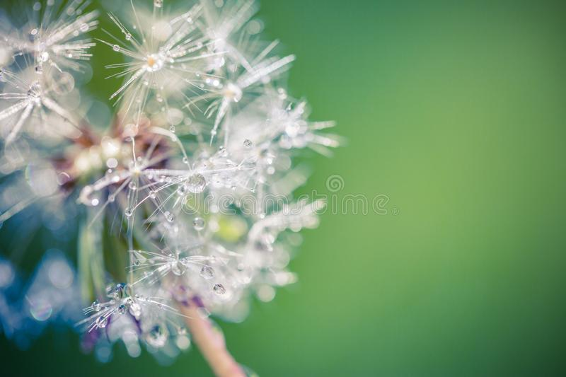 Summer macro dandelion flowers and morning dew. Bright closeup of inspirational nature banner background. stock photo