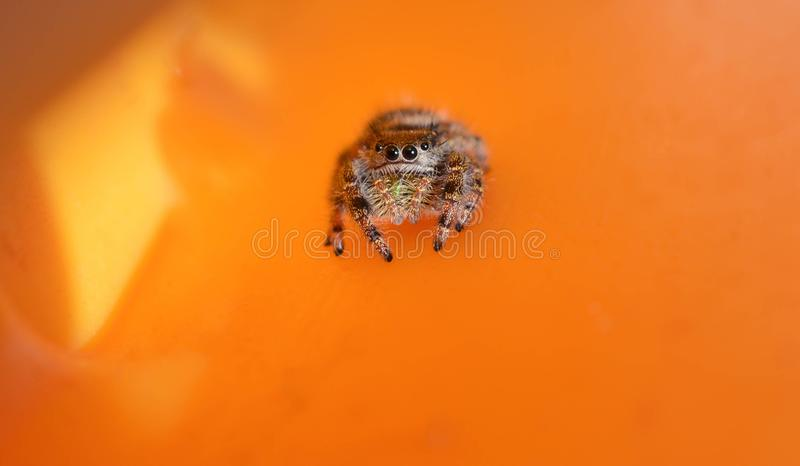 Macro profile photo of a little jumping spider on a yellow background stock photo