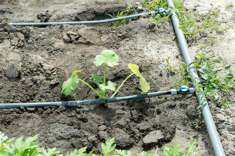 Download Summer Marrow Growing In The Vegetable Garden. Bio Zucchini Bush.  Planting Courgettes In
