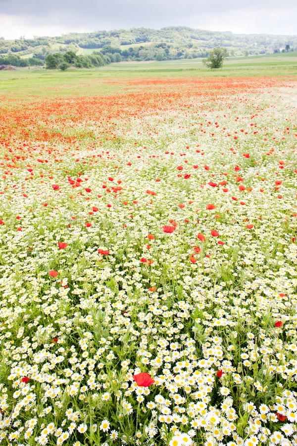 Summer meadow in blossom. C29, outdoor, outdoors, outside, exterior, exteriors, nature, natural, landscape, landscapes, scenic, flora, vegetation, botany royalty free stock photography