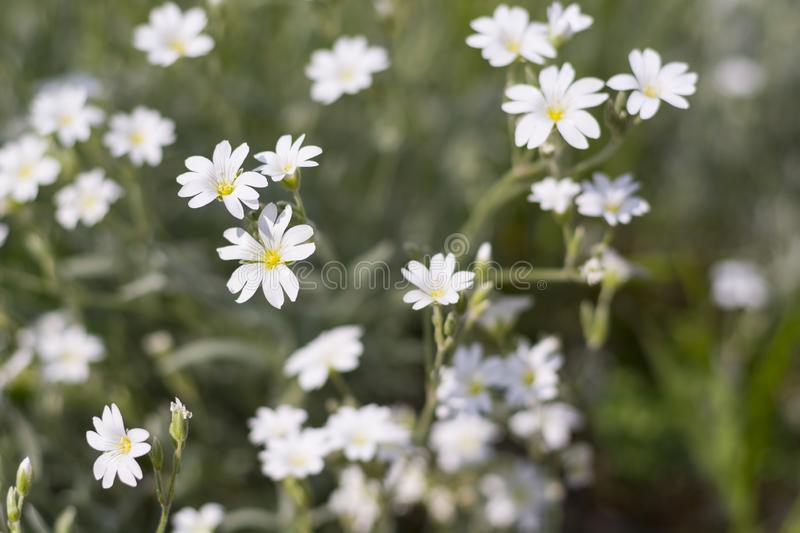 Summer meadow blurred background with white flowers and green grass. On sunlight. Natural green wallpaper stock photo