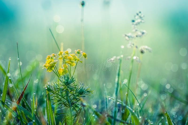 Summer meadow, green grass field and wildflowers, nature background concept, soft focus, cool, cold tones. Summer meadow, green grass field and wildflowers stock photo