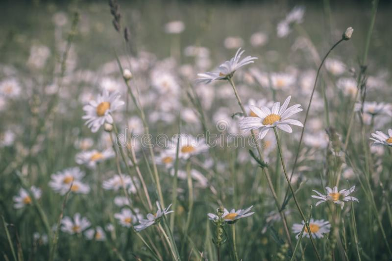 Summer meadow, green grass field and wildflowers in warm sunlight, nature background concept, soft focus, warm pastel tones. Summer meadow, green grass field royalty free stock photography