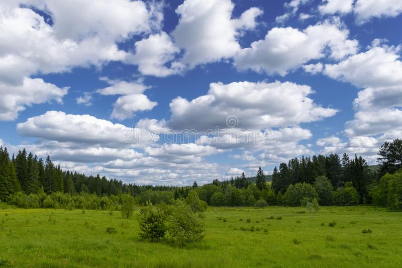 Summer meadow landscape with green grass and wild flowers on the background of a coniferous forest and blue sky. With white clouds royalty free stock photography