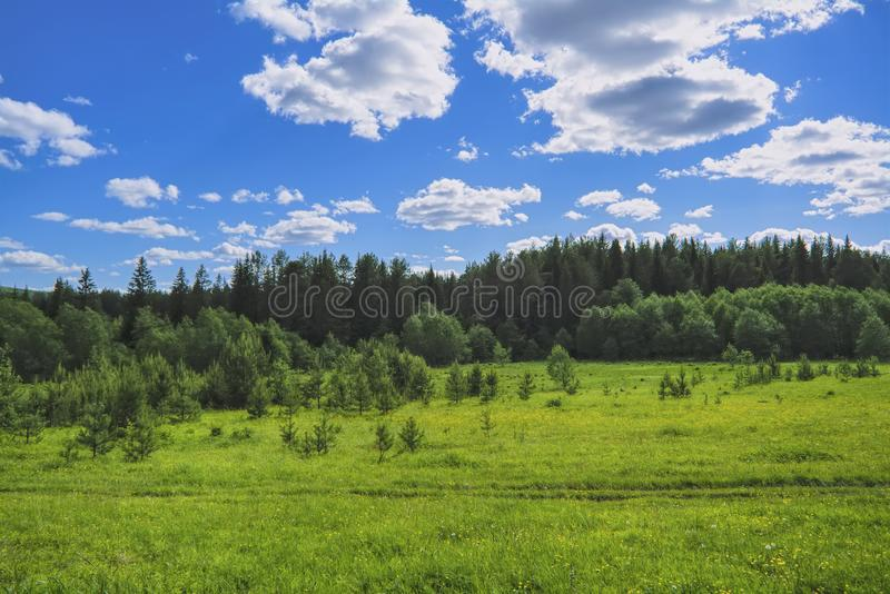 Summer meadow landscape with green grass and wild flowers on the background of a coniferous forest and blue sky. With white clouds stock images