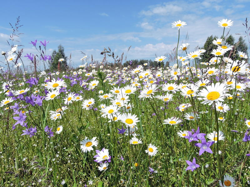 Summer meadow, Lithuania. Blooming daisy flowers in meadow in summer, Lithuania royalty free stock photo