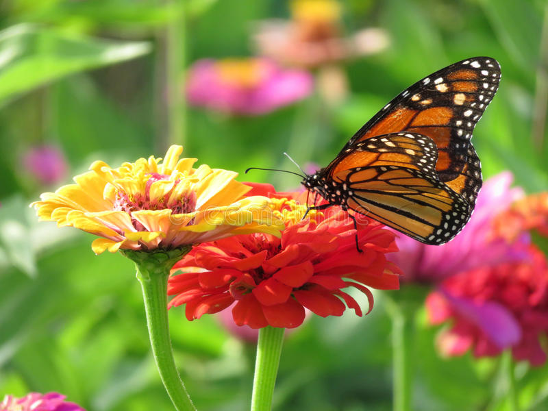 Summer Monarch Butterfly in the Garden royalty free stock photo
