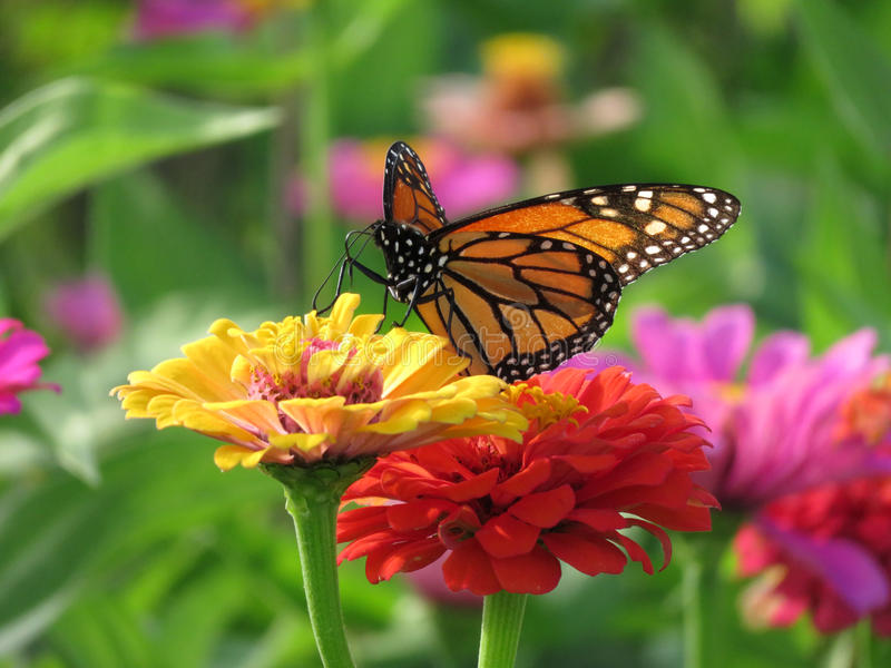 Summer Monarch Butterfly in the Garden stock images