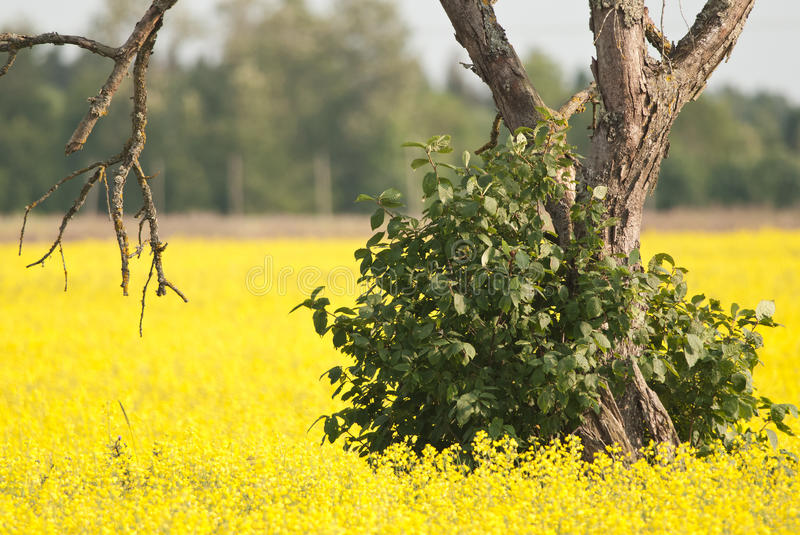 Summer moods. Yellow field and a bush royalty free stock photography