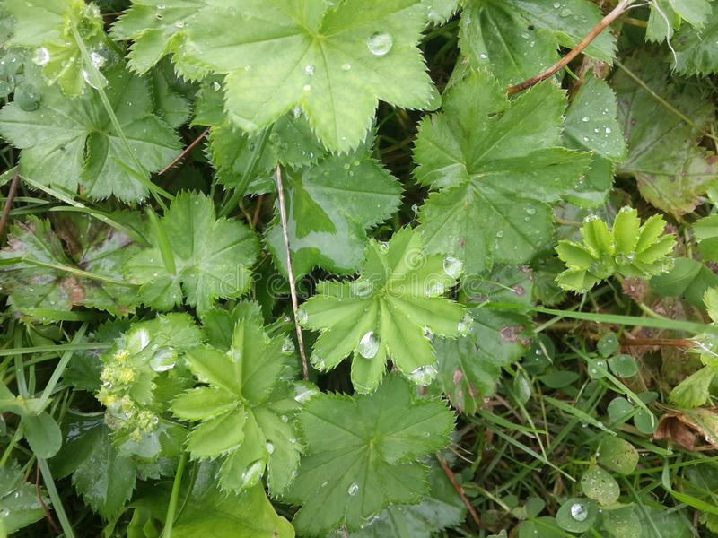 Summer morning in the Arctic circle, the dew drops energize the lush green North of the plant stock images