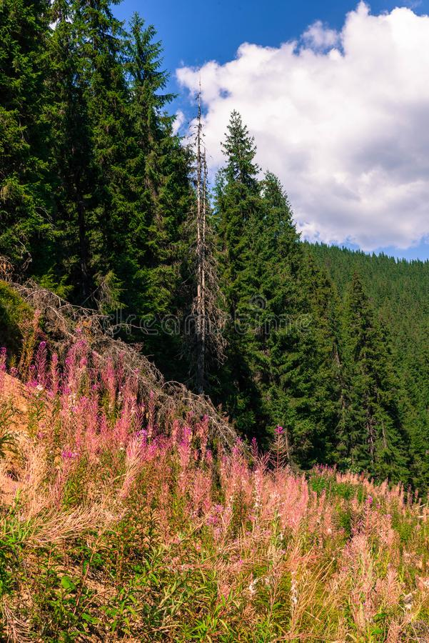 Summer mountain landscape with flowers willow-herb in the foreground. Summer mountain forest landscape with flowers willow-herb in the foreground stock photography