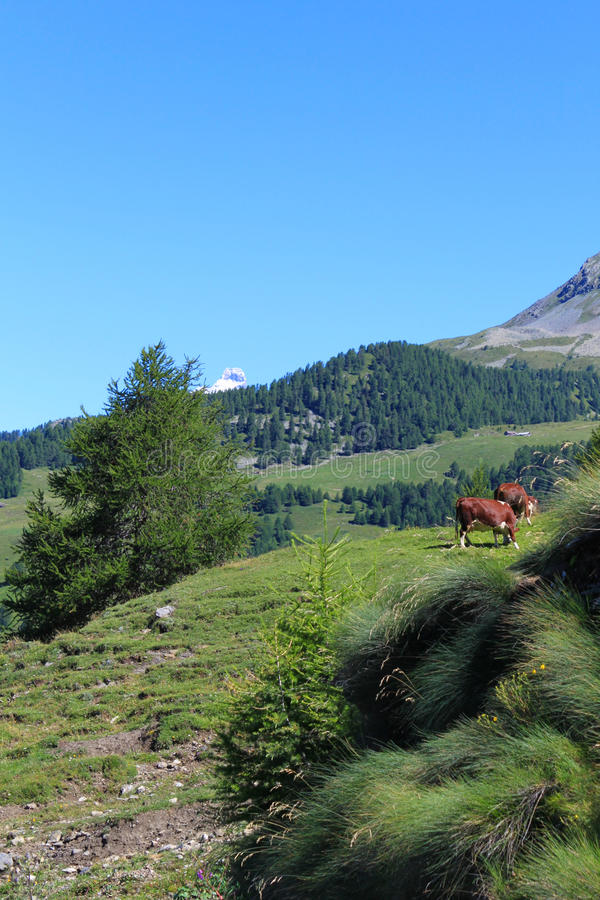 Cow Grazing - Summer Mountain royalty free stock images