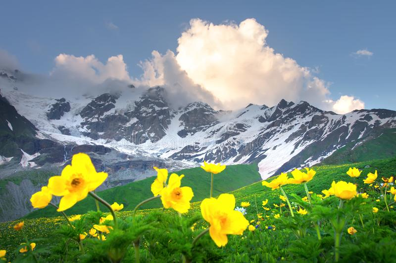 Summer mountains. Yellow flowers in green mountain valley. Alpine mountain range. Beautiful view on snowy rocky mountains royalty free stock photo