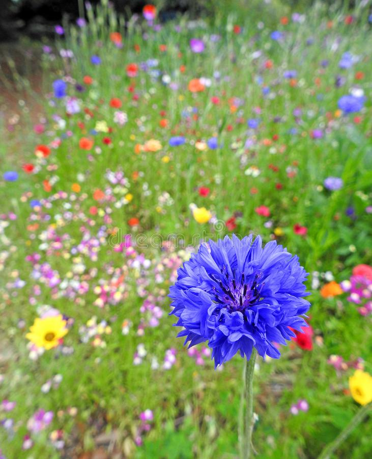 Summer multi coloured meadow small garden flowers plants. Photo of a summer multi coloured meadow flowers growing in small country garden through july 2019 royalty free stock photos