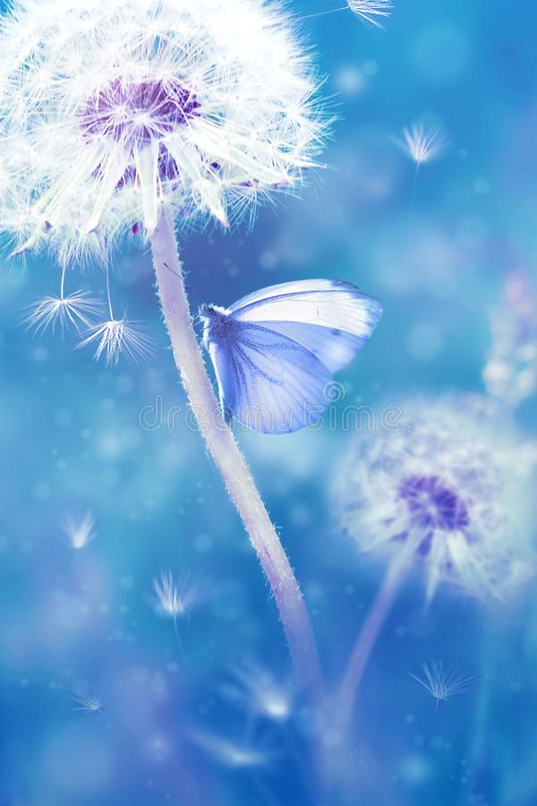 Summer natural floral background. White dandelions and beautiful butterfly on a blue fantastic  background. stock photos