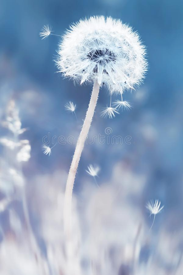 Summer natural floral background. White dandelions and seeds on a blue and pink background. Soft focus. royalty free stock photo
