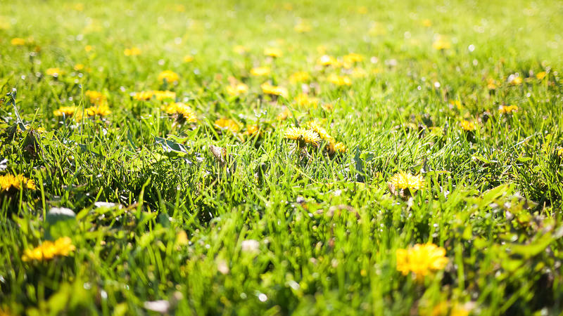 Summer nature background with blurred green grass and dandelions stock photo