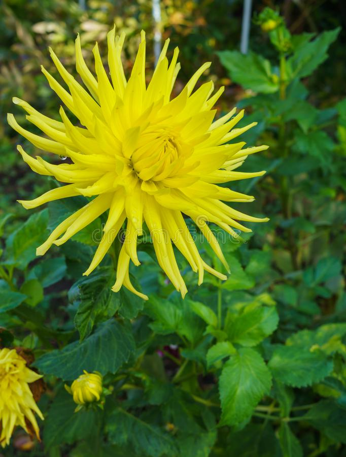 Summer nature close up - vertical photo of bright yellow dahlia flower growing in the garden, with green leafs.  royalty free stock photography