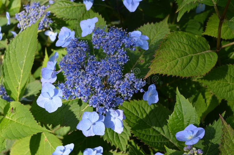 Summer in Nova Scotia: Blue Lacecap Hydrangea Flowers royalty free stock images