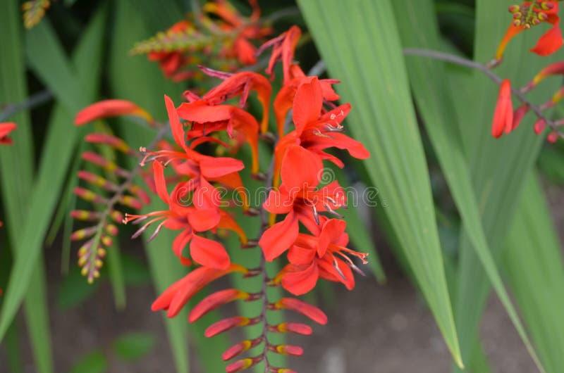 Summer in Nova Scotia: Crocosmia lucifer Flowers. Summertime in Nova Scotia: Closeup of Crocosmia lucifer Flowers stock photo