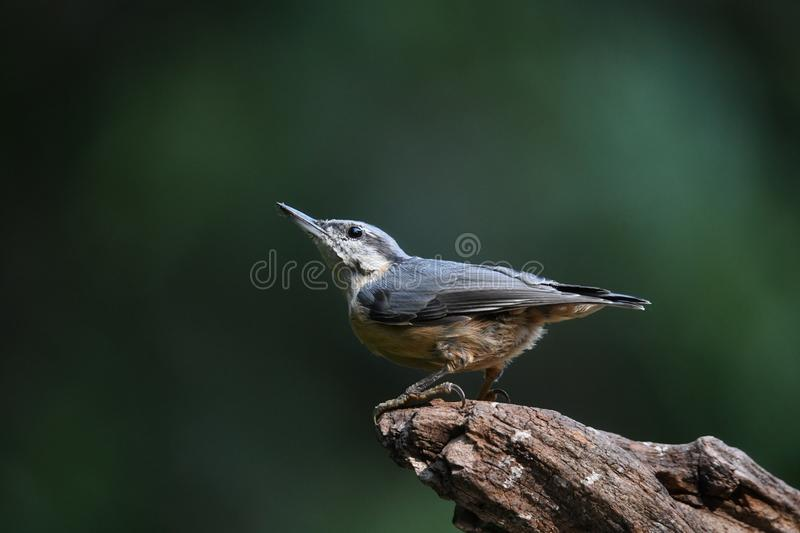 Nuthatch on a tree trunk royalty free stock photos