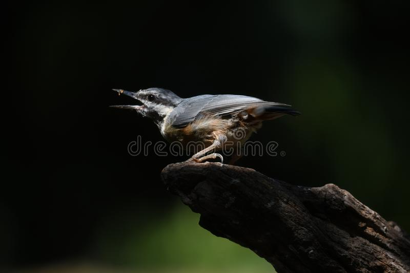 Nuthatch on a tree trunk royalty free stock images